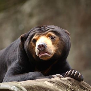 Mr Hobbs, Sun Bear (Taronga Zoo)